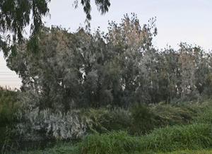 När du ska beskära eukalyptusträd