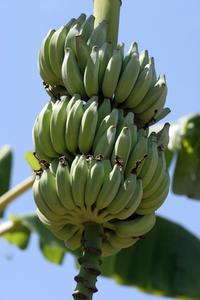 bananplanta
