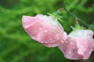 Hur mycket vatten behöver en ärta växt?