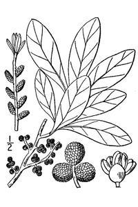 Vad är en Bayberry buske?
