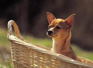 Skillnaderna mellan Apple huvud & rådjur huvud Chihuahuas