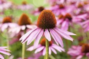 Hur till omsorg for echinacea purpurea