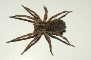 Om spindlar i South Carolina