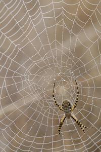 Typer av brun randig spindlar