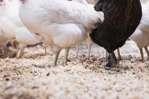 Vad kan jag sätta på marken i min kyckling penna?