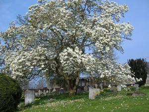 Lista över magnolia träd för zon 5