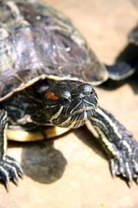 Hur man skilja mellan pojke & flicka reglaget sköldpaddor