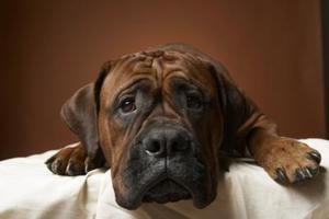 Diarré hos hund och Pepto Bismol