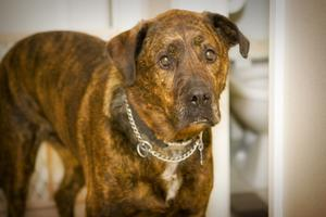 Giardia vaccin för hundar