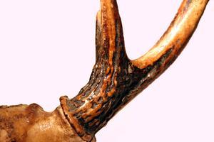 Återställa Deer horn