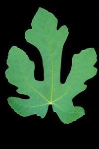 Bruna fläckar på Fig Tree löv
