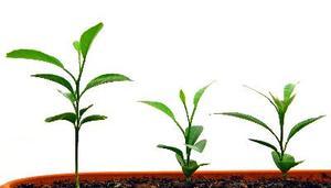 Tillväxthämmare i jordbruket & trädgårdsodling