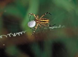 Vad för slags spindel är brun med en gul rand dess mitten?