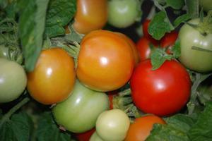 Behöver tomatplantor kalcium?