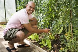 Kogödsel och gul tomat blad