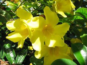 Följeslagare växter för Knock Out rosor