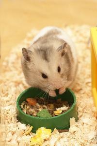 Hur till omsorg for dvärg Hamster hälsoproblem