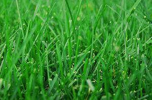Hur lång tid för gräsfrö att mogna?