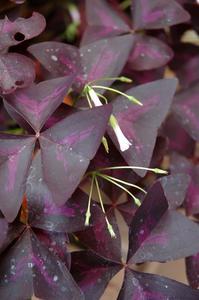 Typer av lila blad krukväxter