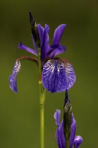 Hur att plantera Sibirisk Iris i en vatten damm