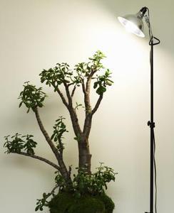 Hur ofta bör jag vatten en Jade växt?