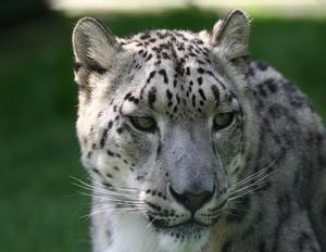 "Hur man gör Snow Leopard lycklig i ""Zoo Tycoon"""