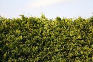 Hur att reparera skadade cedar häckar