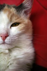 Brun öga ansvarsfrihet i cats