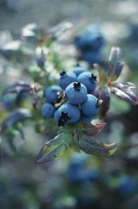 Larver som äter blåbär blad