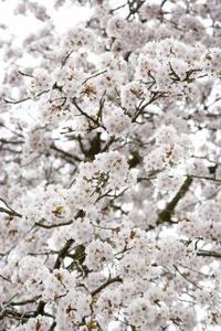 Vit svamp i ett körsbärsträd
