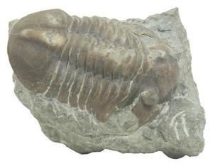 Vanligaste fossiler av Amerika