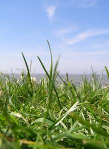 Hur man Reseed Bermuda gräs