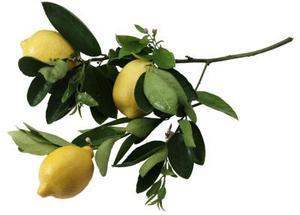 Hur man odlar förbättrad dvärg Meyer citronträd i Houston, Texas