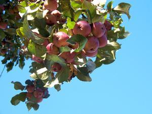 Fördelar & nackdelar med växande semi dwarf fruktträd