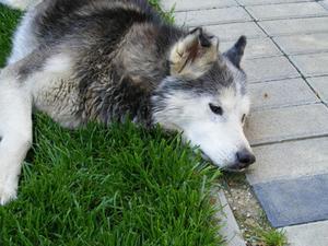 Hur man stoppar diarré i Siberian Huskies