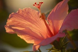 Hur man gör en hibiskus formklippta träd