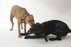 Lymfom i hundar & blödning genom näsan