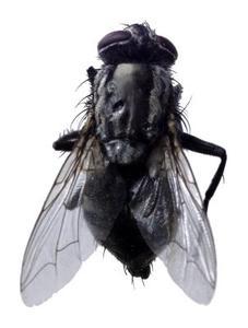 Hur man bli av med flugor & Horseflies