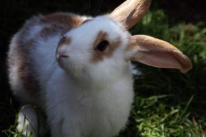 Hur man föder upp kaniner för kött