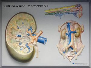 Tester för att avgöra polycystisk njursjukdom