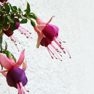 Typer av hängande växter med lila blommor