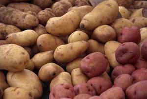 Hur man planterar rödbrun potatis