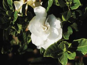 Varför stänger Gardenia Bush bladen gul?