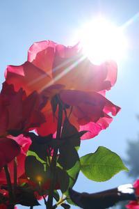 Hur djupt ska jag plantera min Rose buskar?