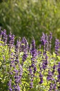 Växter som ser ut exakt som engelsk lavendel