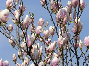 Magnolia Officinalis biverkningar