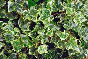 Hur man ta hand om en vit och grön Ivy anläggningen