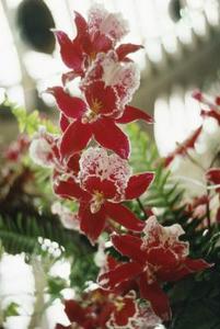 Lång Silk julblommor