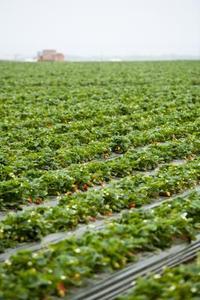 Hur man planterar kommersiella jordgubbar
