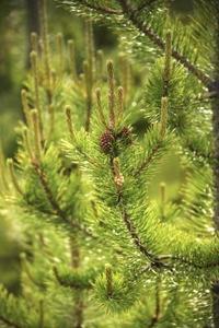 Kännetecken för pollinering i pinjeträd